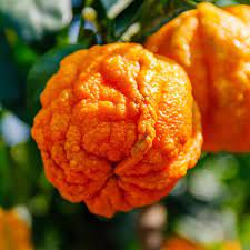 Bitter Orange Benefits, Uses & History: Gaia Herbs®