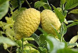 M-Tech Gardens Rare Etrog Citron, Edible Lemon 1 Healthy Live Plant:  Amazon.in: Garden & Outdoors